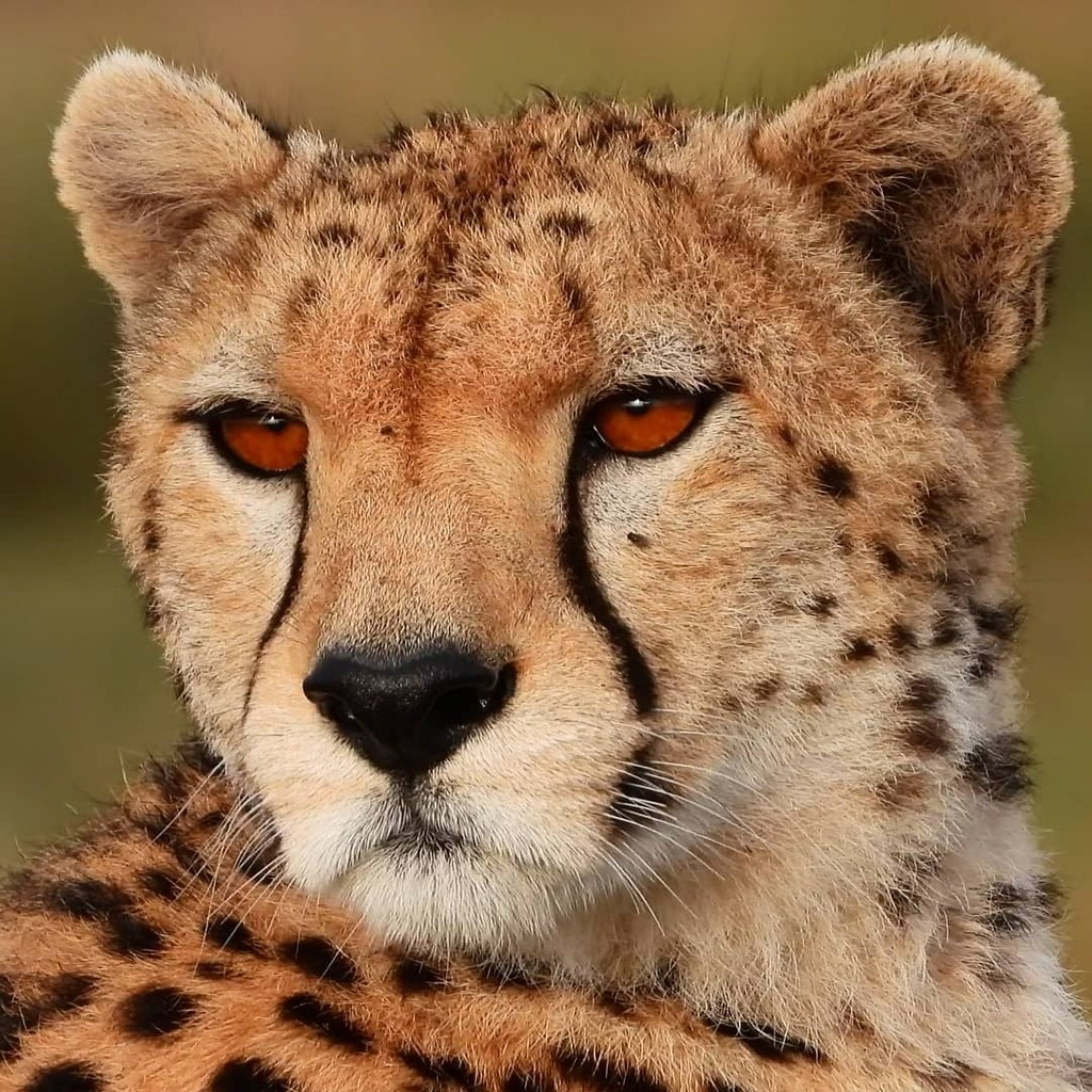 I feel I should know which #cheetah this is but I don't... #nowfilming #zebraplainsmoments #zebraplainscollection . . . . . #cheetahsofinstagram #cheetahlicious #cheetahlover #instacheetah #africanamazing #africanimals #africansafari #ig_africa #igscwild… https://t.co/wrkG0fM52b https://t.co/JvXBrSVaBa
