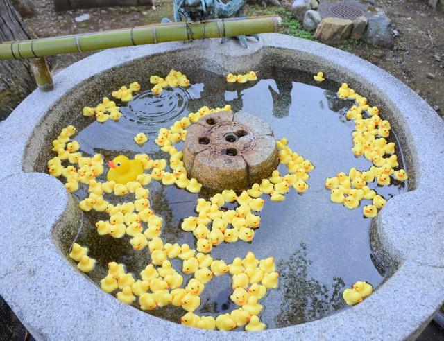 【ぷかぷか】京都の粟田神社、手水がアヒルたちでいっぱいに!「殺風景では?」と、氏子の男性が約150個を持参し、宮司が早速浮かべた。アヒルがひっくり返ると、宮司が手直しするという。