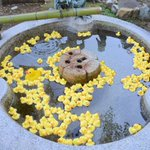 ぷかぷか浮くその正体は一体!?京都の粟田神社手水がアヒルでいっぱいになって可愛いと話題に!