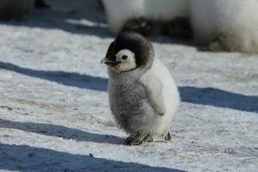 ペンギンの赤ちゃん見て癒されましょう