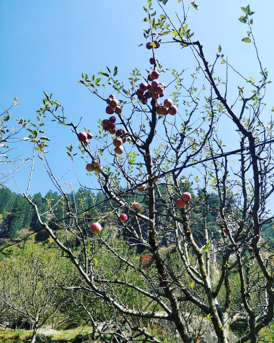 My hardwork today - plucked apples from the jungle 😇😇   #HimachalPradesh #IncredibleIndia #himalayas https://t.co/cVp0VQ84al