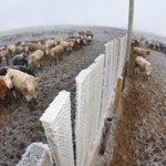 Image for the Tweet beginning: Klassen: Weather, COVID, feed grains