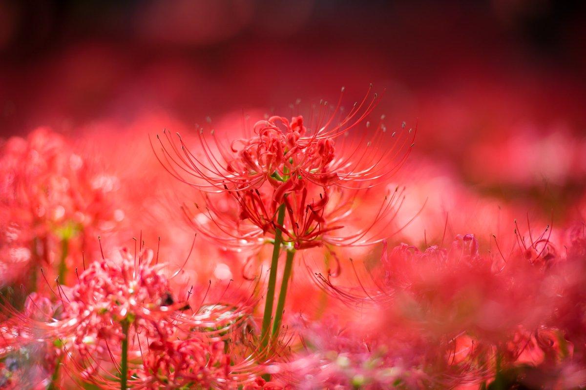 1日おつかれさまでした(*´ω`*).。.:*☆  #花 #風景 #自然 #彼岸花  #キリトリセカイ  #カメラ好きな人と繋がりたい  #写真好きな人と繋がりたい   #写真を撮ってる人と繋がりたい  #ファインダー越しの私の世界 https://t.co/OjGyhvvCNr