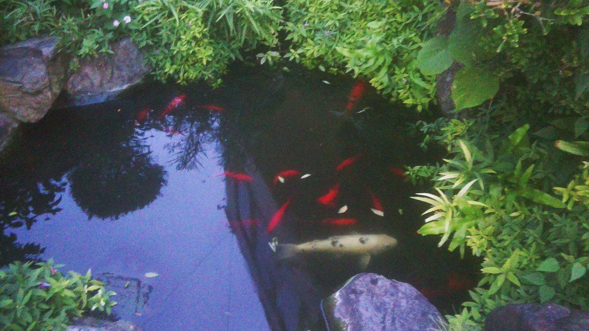 夕方に目にした池と鯉。  濃い緑色の植物と赤い鯉のコントラストがとってもきれいでした。  暮らしの中にある自然に感謝です。  #自然 #植物 https://t.co/c5IEGIcmRW