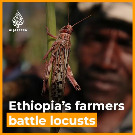 Image for the Tweet beginning: Ethiopia's farmers battle worst locust