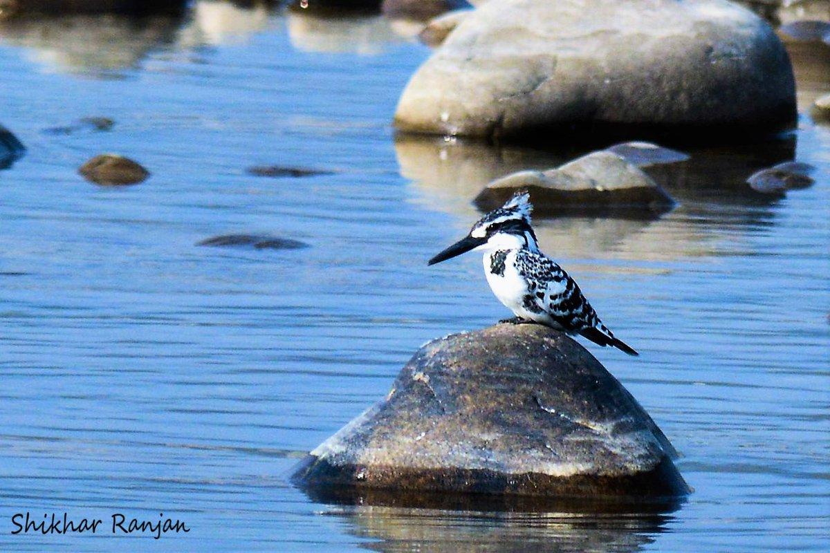 #BirdsonBanks @IndiAves #birding #birdsphotography #birds #piedkingfisher #indianspotbilledduck #cormorant #kingfisher #corbett #kabini #nagarhole #katarniaghat #UttarPradesh #Uttarakhand #Karnataka https://t.co/eZo0ZmedLQ