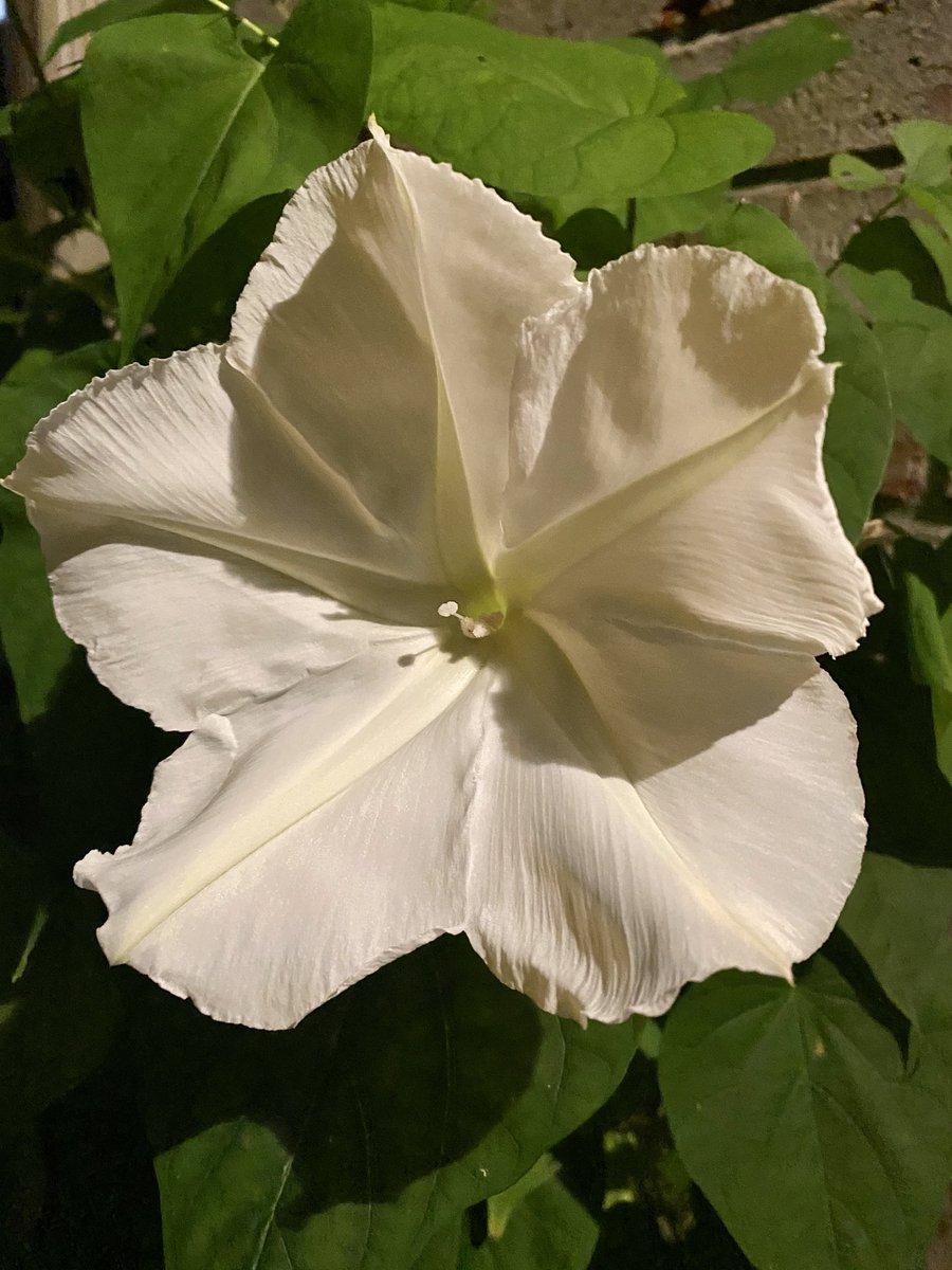 White Moonflower in October #homegarden #peace ☮️