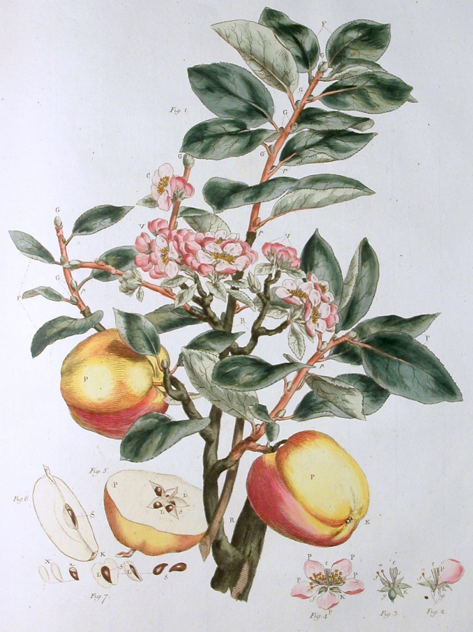 Today is primidi 1 Brumaire in the year of the Republic CCXXIX, celebrating the apple. https://t.co/7OTIoMBqe0