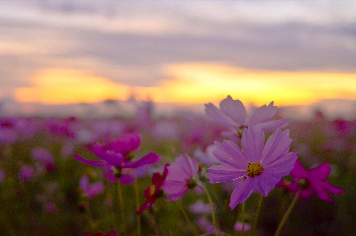 秋桜、花遊び  #cosmos #薄紅 #小春日和 #autumn#本證寺 #アキザクラ #群生 #chilling #timetochill #peaceful #calm #tranquil #stillness #peace #beautifulday #lovelyday #landscape_lovers #landscapephotography #scenery #beautifulview #awesomeearth #beautifulmoment #hideout https://t.co/HLv5mcT2oV