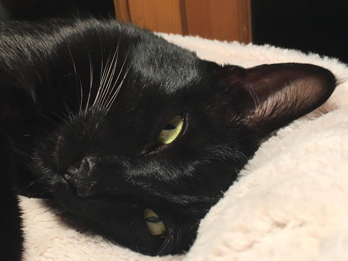 Rolf report 22 Oct: My family is helping me get my beauty sleep so I'm at my best for my first virtual cat cafe tomorrow. It's set up by the university library team.  My humans & campus mom Dr Claudia will tell my story then I'll interact with all the students that attend. Rolf x https://t.co/KJzQorabzY