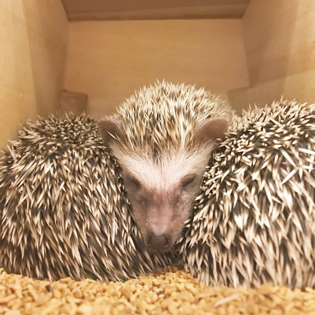 🍑😴🍑 上手くフィットして気持ち良さそうです🍁 [本日は定休日です] #ハリネズミ #hedgehog #hedgehogcafe #エキゾチックアニマル #六本木 #動物カフェ #六本木カフェ https://t.co/sWJRT17c6r