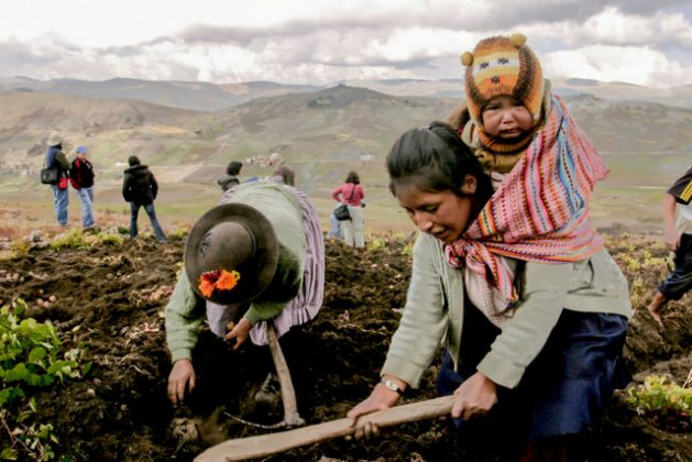 #Peru will remain #GMO-free for 15 more years, Congress decided yesterday. Main argument to extend the moratorium: the value of the country's crop biodiversity & the role of peasant farmers in feeding the nation with it. https://t.co/UUsSoir8WZ   📷 M.Pereira/IPS https://t.co/BBFzB3O7FK