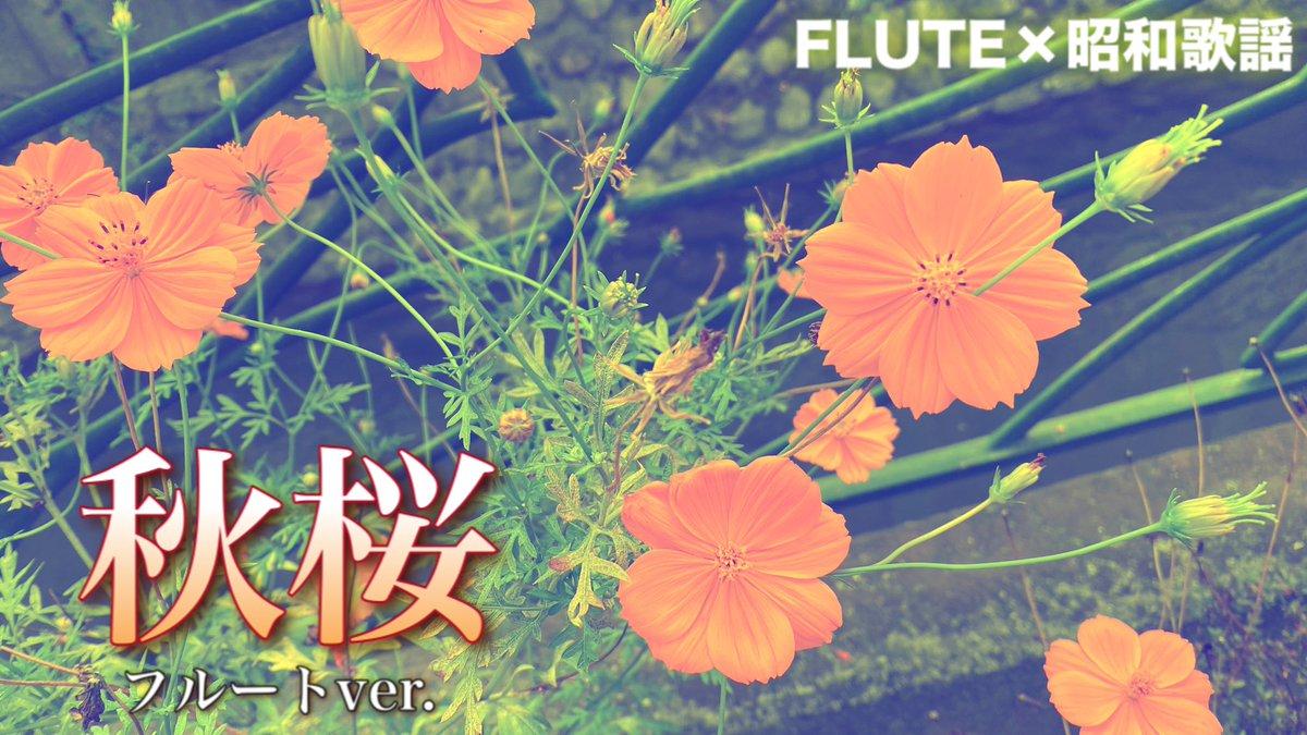 昭和歌謡の名曲をフルートで😙🎵なぜかホロリときちゃう曲…🌼【フルート】秋桜/山口百恵【演奏してみた】