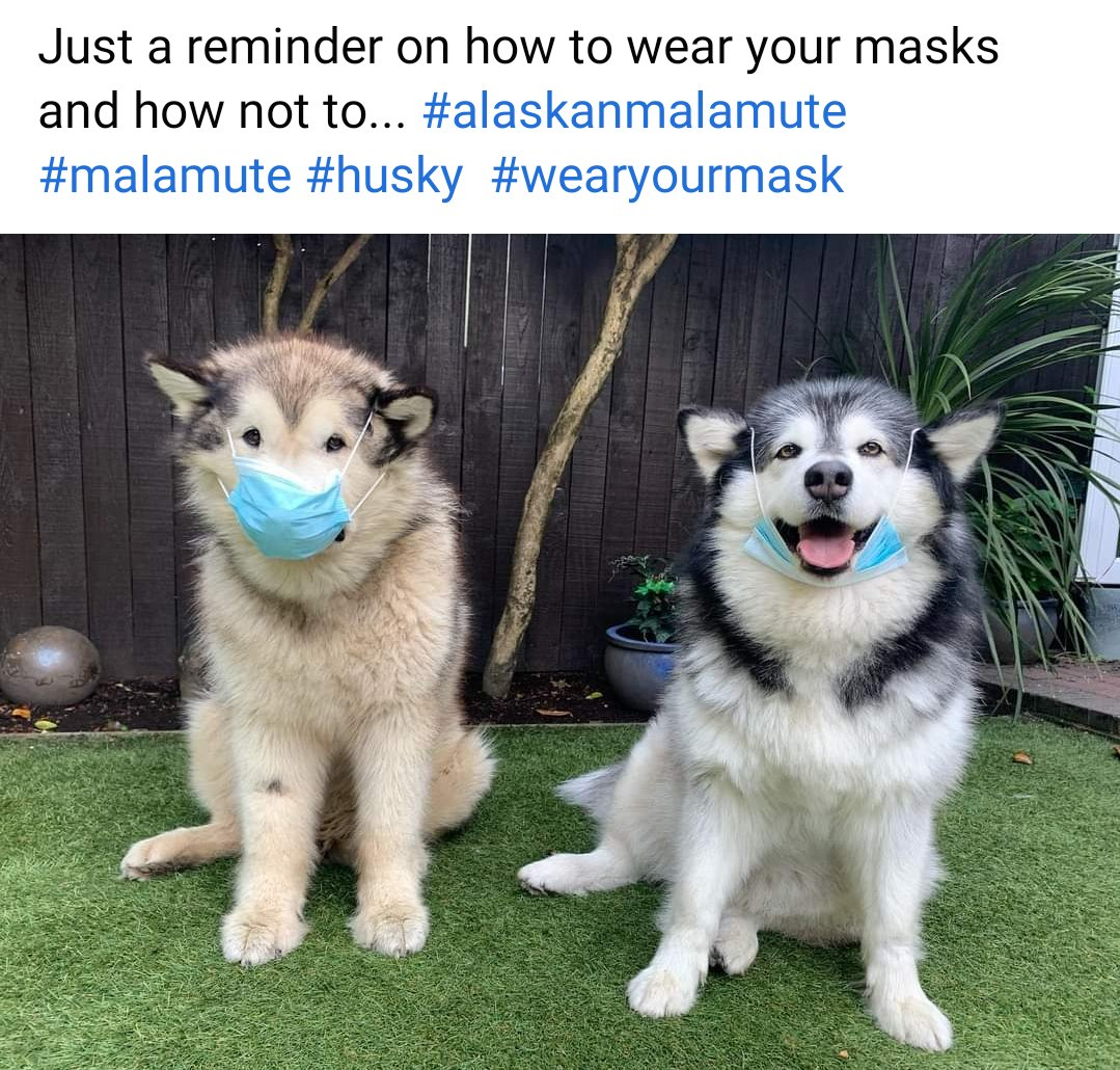 Lifewithmalamutes Hashtag On Twitter Grown alaskan malamute, with fluffy cream and grey fur, cute dog breeds, lying on the ground, and looking at the camera. lifewithmalamutes hashtag on twitter