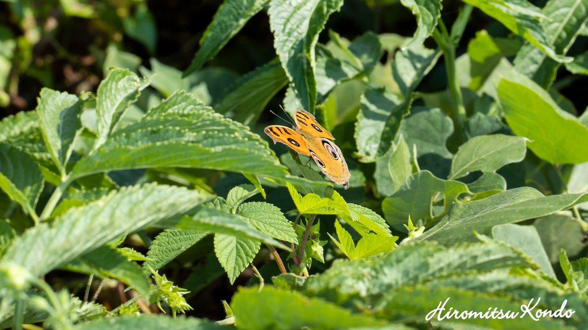 初めて見つけました 遠目からではありますが撮れました  #福岡 #自然 #昆虫 #秋 #蝶 #チョウ #タテハチョウ科 #タテハモドキ #観察 #風景 #ファインダー越しの世界 #ファインダー越しの私の世界 https://t.co/t1eRoCFFSb