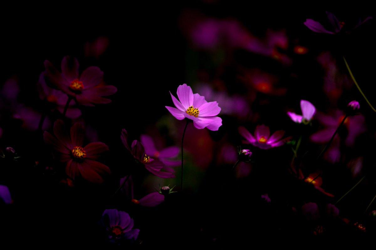 これが本物  #秋桜 #コスモス #花 #flower #写真好きな人と繋がりたい #花写真 #ファインダー越しの私の世界 #写真好きな人と繋がりがたい #写真で伝えたい私の世界 #写真で奏でる私の世界 #あなたには無理な美しさ https://t.co/mXQ2n2MlIS
