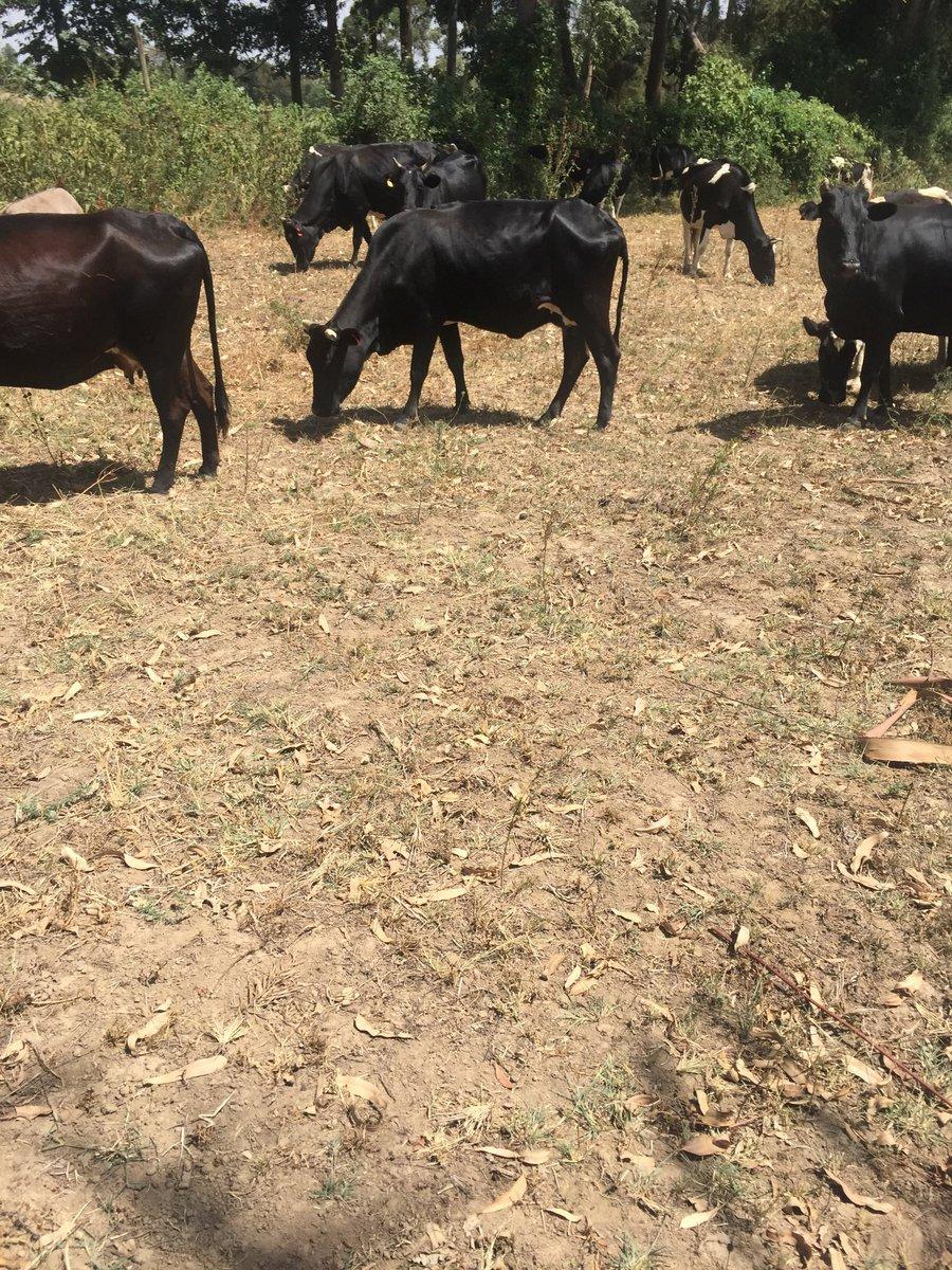 Tough grazing conditions in Kenya 🇰🇪 #lovedairy #dairy #farming https://t.co/nAn9SjAK09