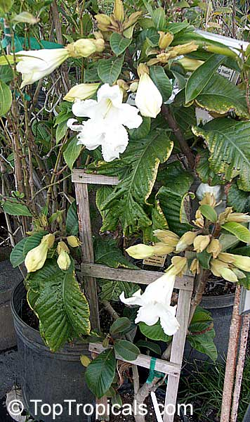 #Beaumontia grandiflora - Easter Lily Vine is one of the most impressive woody climbing plants. It has large glossy green leaves and large fragrant white flowers resembling an Easter Lily.   #fragrantplants #floweringvines #rareplants #ThursdayThought