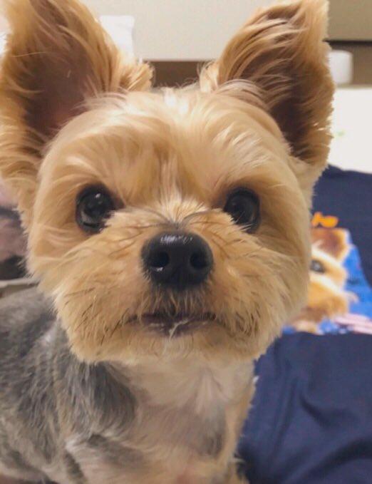 わが家のアイドルバロンくん🐶パパさんの一推しはやっぱり…元気ヨーキーバロンくんです✨アメブロを投稿したワン‼️😊💕『バロンくん♡まにあ!』#犬好きさんとつながりたい#犬好きな人と繋がりたい#ヨークシャーテリア🔻アメブロはこちら↓🐶🐾