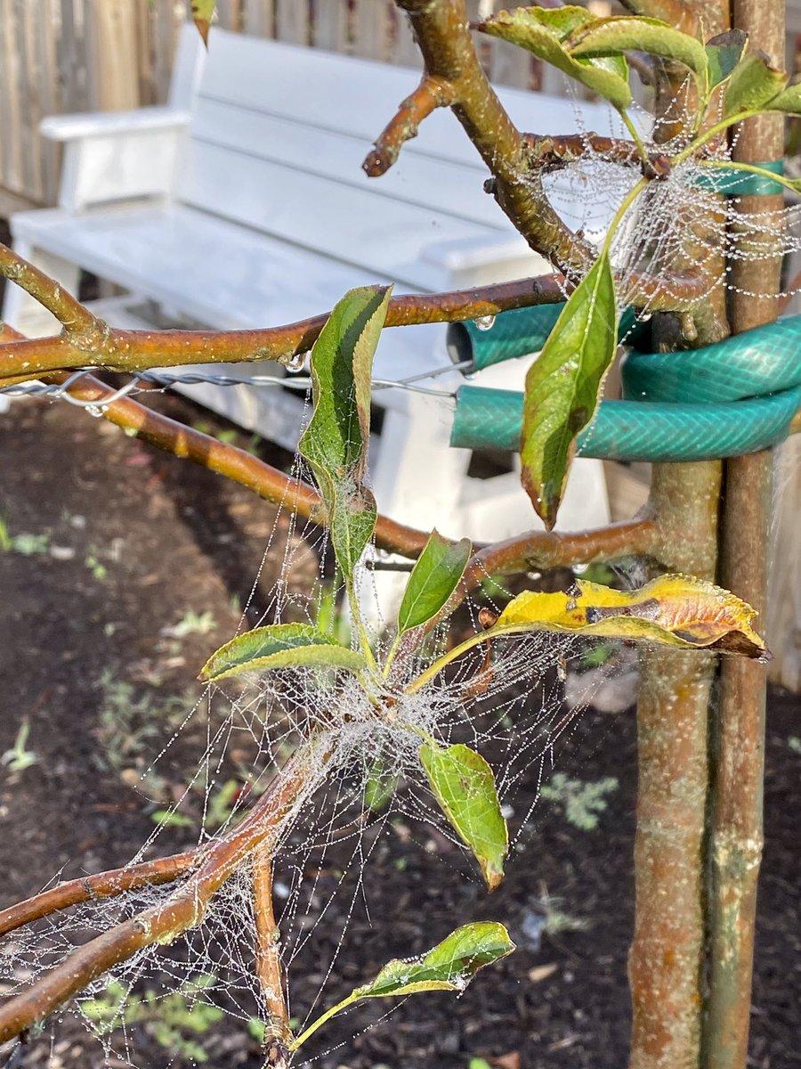 Spider Webs in the Morning Pearls of Dew @SeatackAADA #seatackdreamers #NatureArt @skatven #October2020 🕷