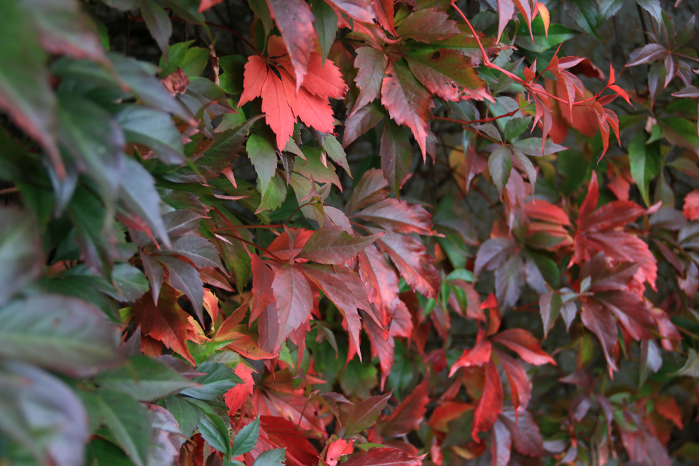 #BostonIvy, #VirginiaCreeper all forms of #parthenocissus.  This #climber fires up every autumn.  There are many forms from different areas of the globe  smaller varieties more suited to your average garden. #Pottypreston #prestonbissettnurseries #autumngardens #autumncolour https://t.co/WzkP1nMtk7