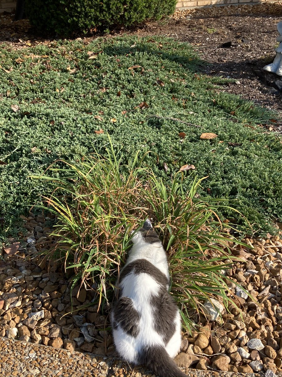 ❤️Monday's Loafy Musing Midwest report: Playing hide and seek with Gran, you think she sees me? 😹😹😹 We hope you have a beautiful Thanksgiving, Canadian🇨🇦 friends! ❤️ #cats @LordGraydon @JoyOfCats @PincyCat @Aloo_Oz @Lisa38807493 @nelliedekat #CatsOfTwitter https://t.co/XFRtUHf8s4