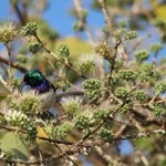 Image for the Tweet beginning: A white-bellied sunbird living his