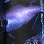 Image for the Tweet beginning: 昨日の深海生物を語っていきます!  ヒカリ付くだけでこんなに違う? ヒカリキンメダイです。  目の下に楕円形の発光器に棲んでる発光バクテリアを培養して、光を利用して生活!  だかキンメダイが50cmに対して12〜15cmかなり小さい! #深海生物 #深海 #見たらいいねして #深海生物語り #深海生物の謎