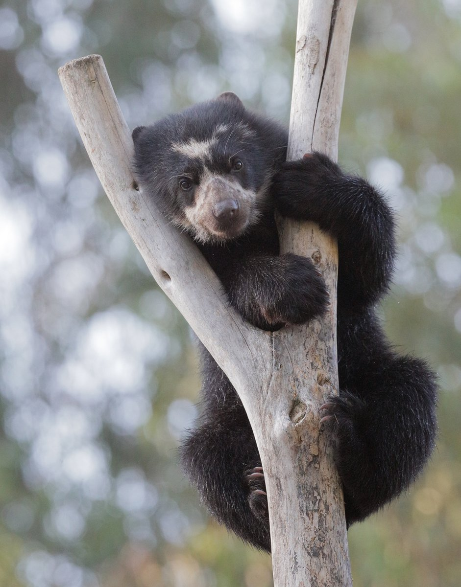 Beary excited to announce this year's keynote at the Tree-Hugger Convention: Agapito  📷 Charles Frey https://t.co/JgFSXerQdD
