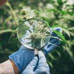 Image for the Tweet beginning: #cannabis #marijuana #weed Aurora Cannabis