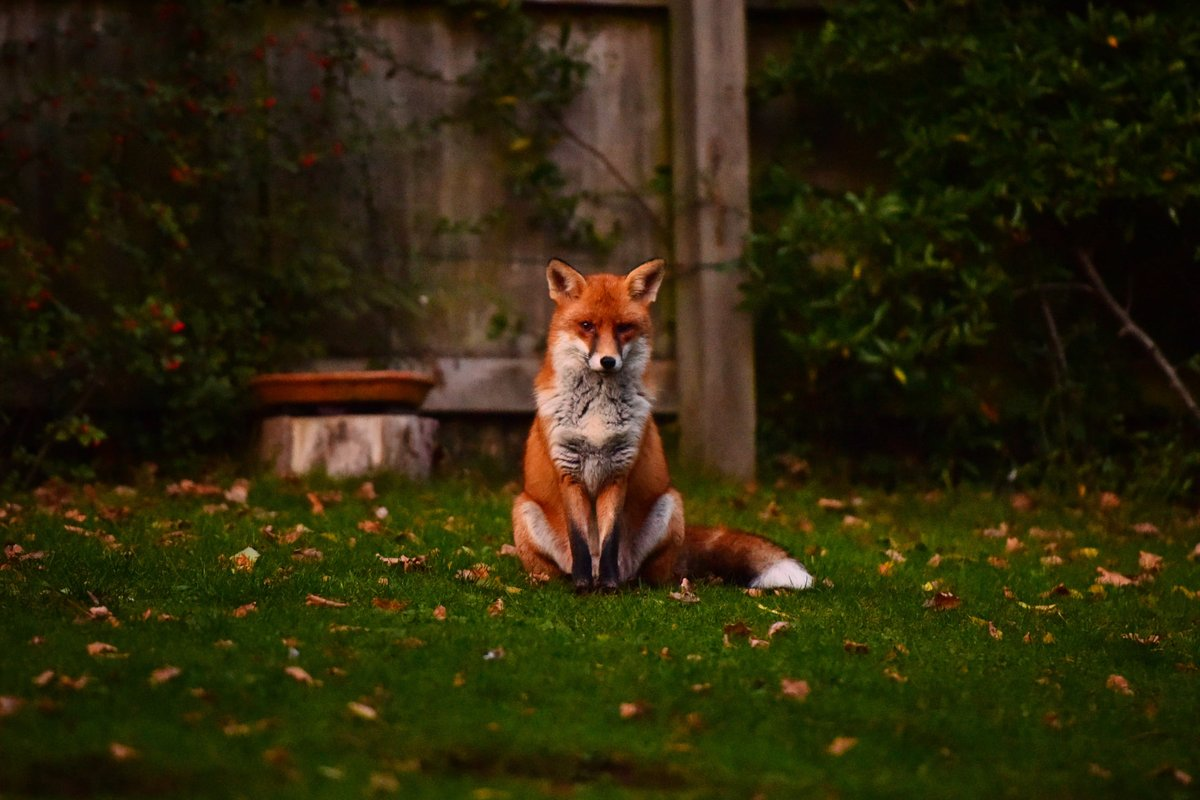 The thing that has kept my nan, back in Worthing, going during the isolation of lockdown - a pair of foxes, living under next door's shed, playing in her garden and coming up to her window. Beautiful animals. https://t.co/L5vGuElODq