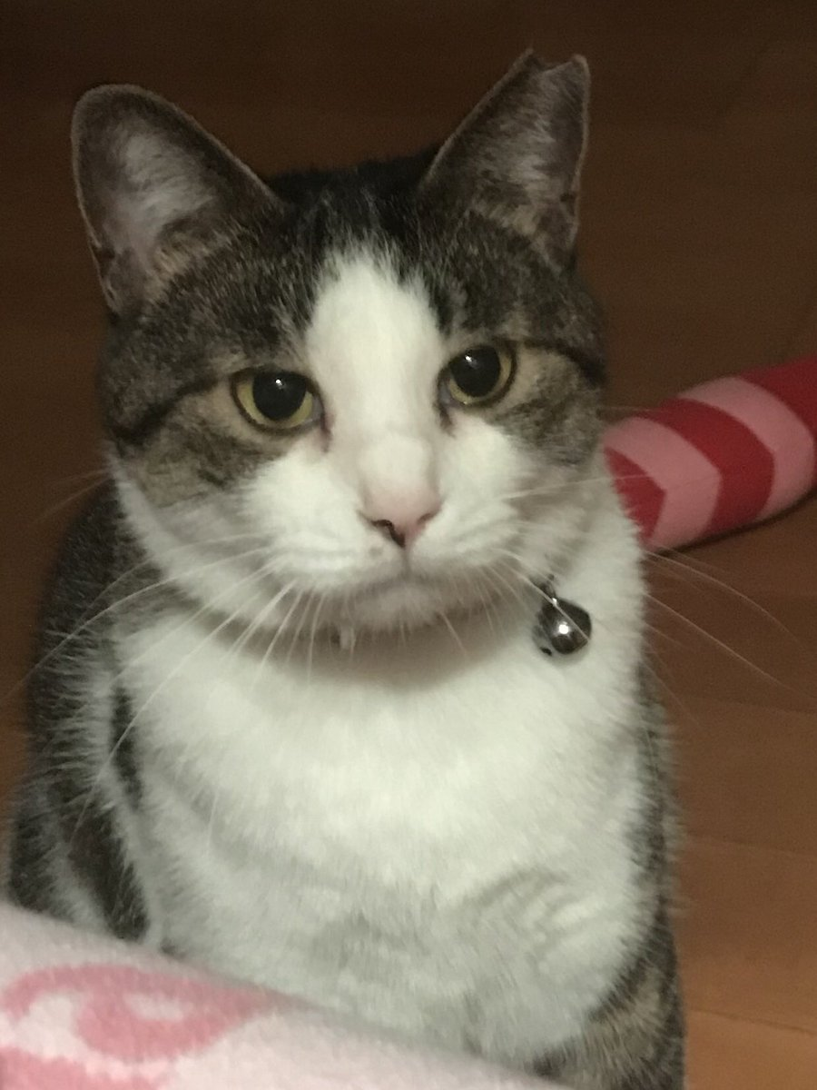 「パパ、ご飯まだかしら? 私お腹すいたんですけど」の顔^_^  #猫のいる暮らし #猫写真 #保護猫 https://t.co/sqQ9D5AnnD