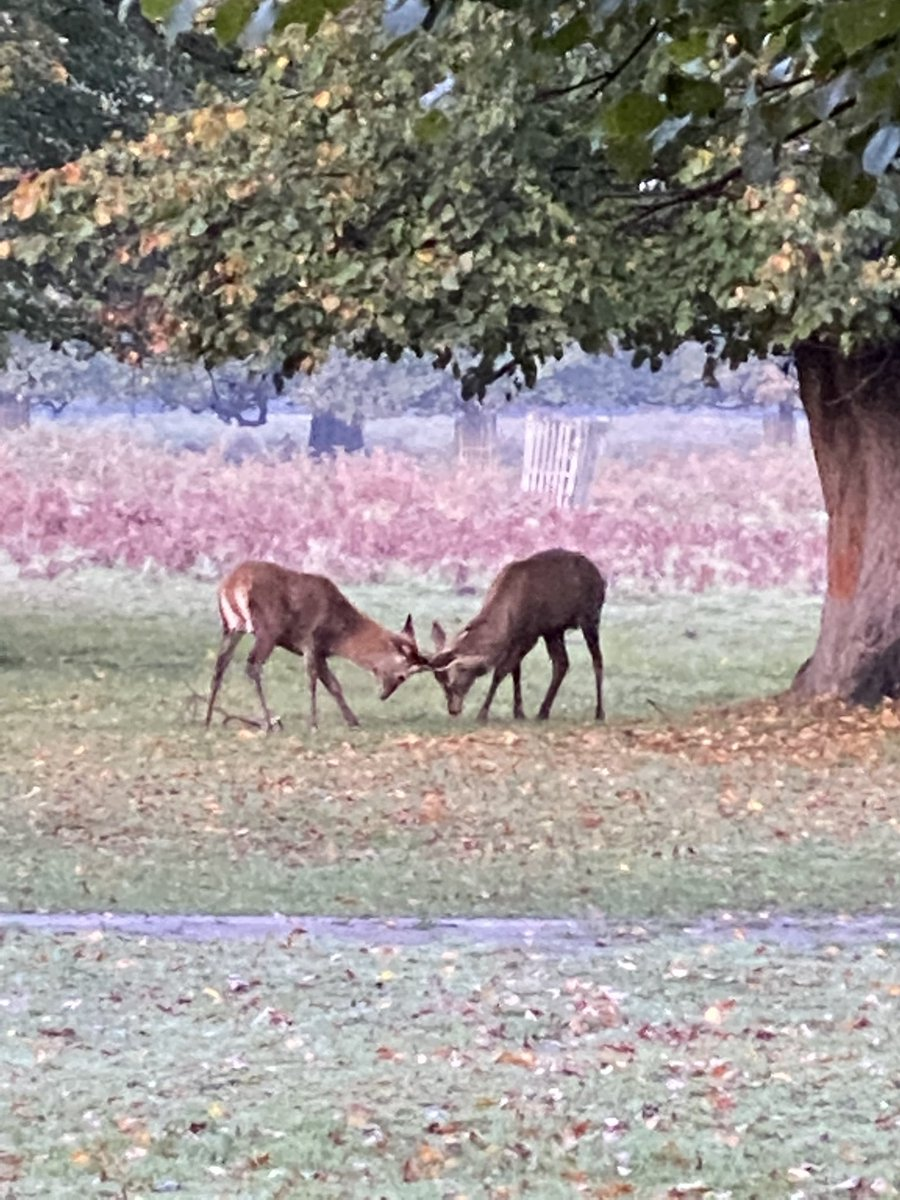 All piccies zoomed in! Two young stags having a practice fight @theroyalparks @BBCBreakfast #BushyPark xxx