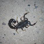 Image for the Tweet beginning: The black hairy thick-tailed scorpion