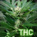 Image for the Tweet beginning: #cannabis #marijuana #weed Coinhako Is