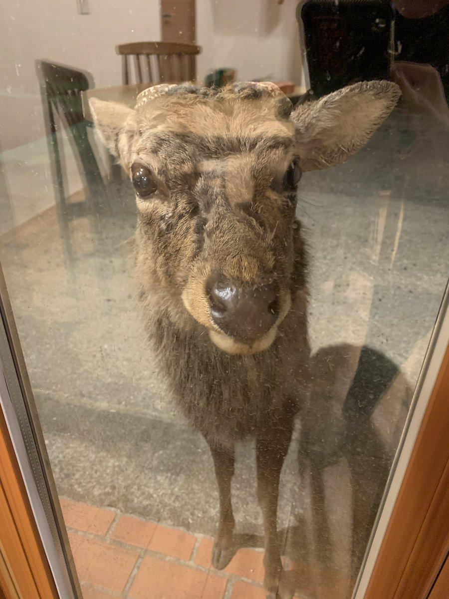 ブラインド開けたらこの有様」窓の向こうには奈良県で「神の使い」とされているあの動物がいた「ちゃんとお辞儀してる」 - Togetter