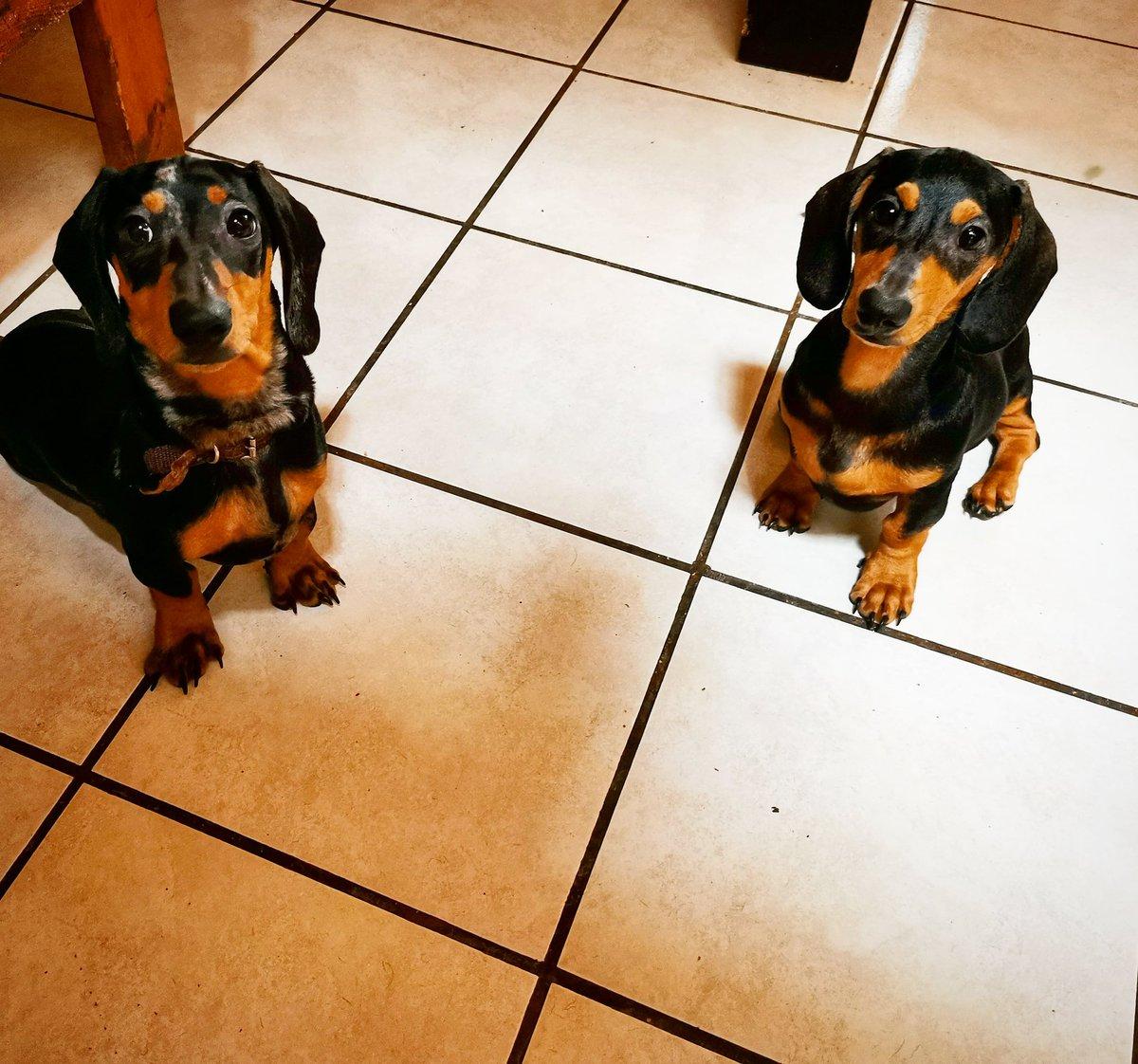 #dachshundpuppies 🐶🐶❤️ https://t.co/3ROQ86gKCu