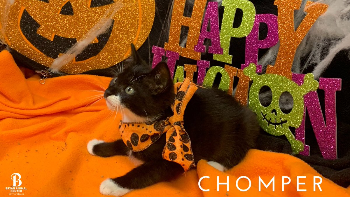 Happy Thursday!  Do you need a reason to smile?  Chomper will bring a smile to your face! Remember Chomper's adoption fee is only $30 this month! #Halloween #Cutekitten #Octoberspecial #Chomper #Adopt #BryanAnimalCenter #CityofBryan #HappyThursday #Smile #Kitten #TrickORTreat