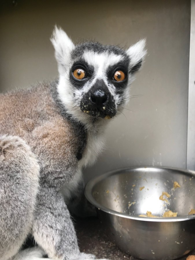 missing lemur