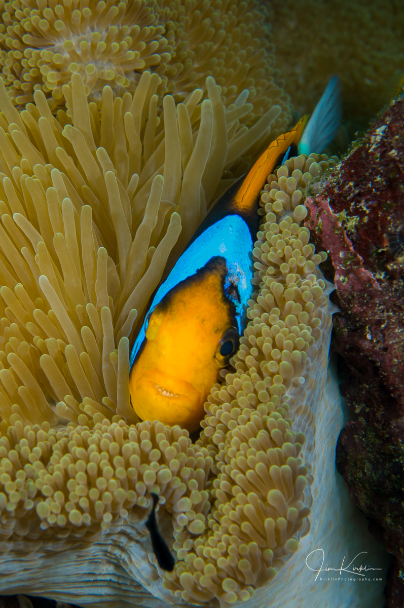 Peek-a-boo! An anemone-fish playing hide and seek! #PhotoOfTheDay #DailyPhoto #DailyPic #Underwater #UnderwaterPhotography #AnemoneFish #ReefLife #SolomonIslands #Solomons #Uepi #Travel #TravelPhotography #Island #Tropics #SouthPacific #IslandLife #Scuba #ScubaDiving #Diving https://t.co/JLHCkB5bDz