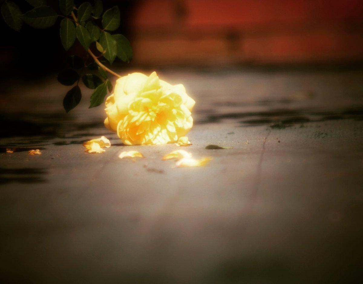*  こんな私でも 好きって 想ってくれるなら どんな姿でも 咲いてみせるわ。。  私は私らしく。。  * #ファインダー越しの私の世界  #フォトロケット  #photography  #coregraphy  #shiohimg  #オールドレンズ倶楽部  #わたしいろ  #レンズ越しの世界  #姫路薔薇園  #秋薔薇  #ふぉと https://t.co/zTa5IJiWAQ