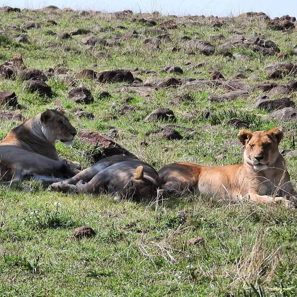 Members of the Marsh Pride of #Lions #nowfilming #zebraplainsmoments #zebraplainscollection . . . . . #lionsofinstagram #instalion #lionking #lionsofafrica #animalpolis #africanimals #africansafari #kenyansafari #ig_africa #igscwildlife #wildlife_perfect… https://t.co/5SVlGhUV0U https://t.co/C14TYKnZ5D