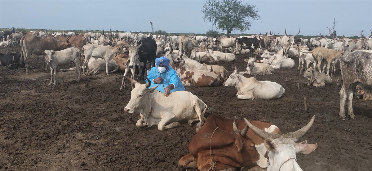 It's #WorldFoodDay ! #Peace is essential for food security & #ZeroHunger in #SouthSudan 🇸🇸. #UNMISS #peacekeepers from India🇮🇳  treated hundreds of diseased livestock in Renk to: ➡️reduce conflict caused by animal theft  ➡️ensure healthy animals, happy farmers, fresh milk   #UN75 https://t.co/xZVPaYHq6Y