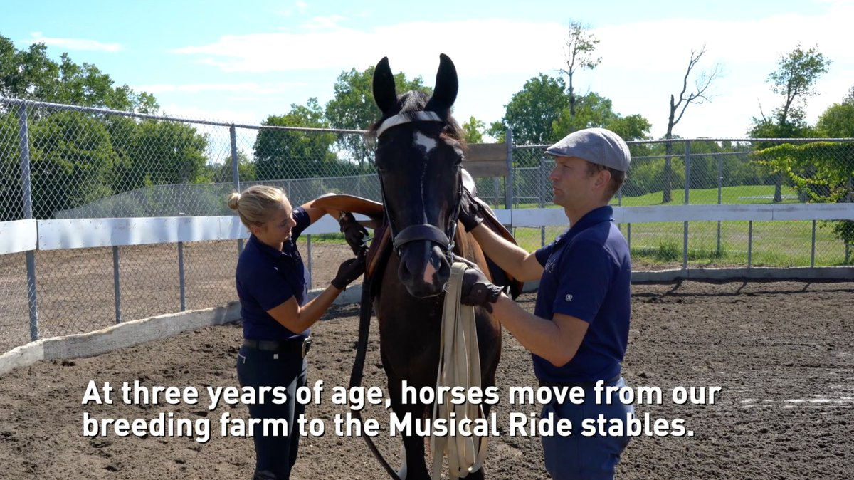 We continue our series: The Life of a Musical Ride Horse. The horses at this age (now called remounts) move to the Musical Ride stables and undergo training for a minimum of three years. Learn more about our breeding program: rcmp-grc.ca/73915 #DiscovertheMusicalRide