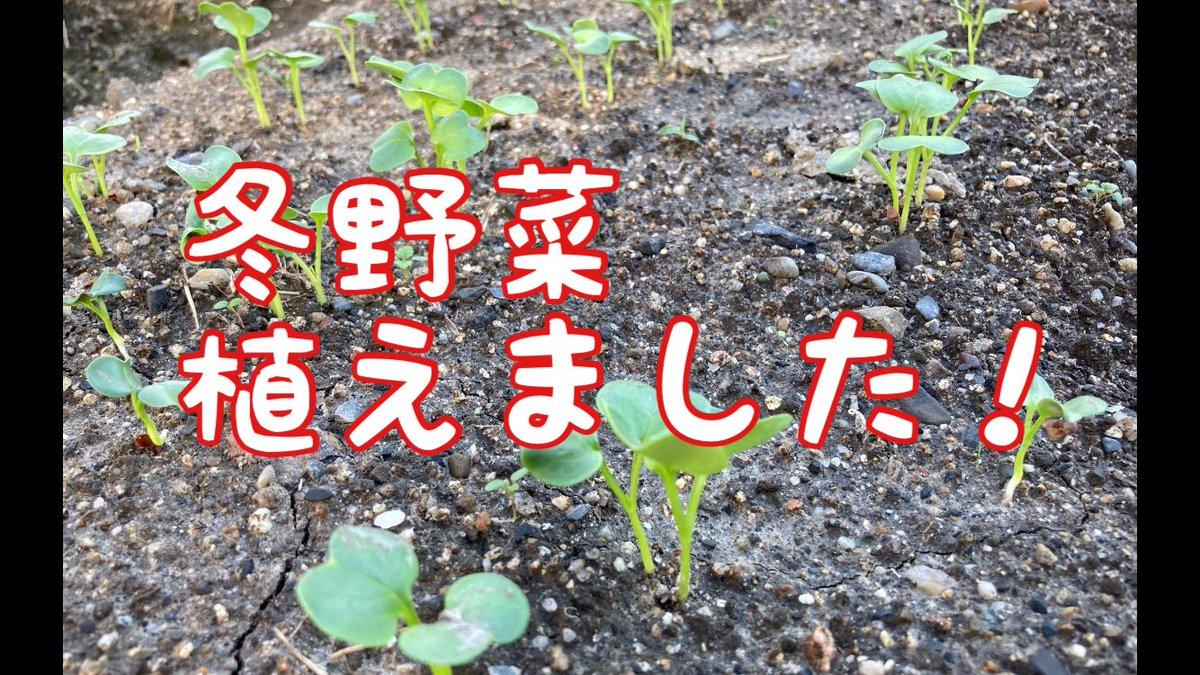 冬野菜を植えました。 家庭菜園なんですが、まぁまぁの広さの畑なので、1ヶ月もかかりました。 よかったらのぞいてみてください。 ↓↓↓  https://t.co/736VcimjGA  #冬野菜 #家庭菜園 #料理好きな人と繋がりたい #おうちごはん #大根 #ビーツ #キャベツ #水菜 #壬生菜 #かぶ https://t.co/7MPkf9m5rc
