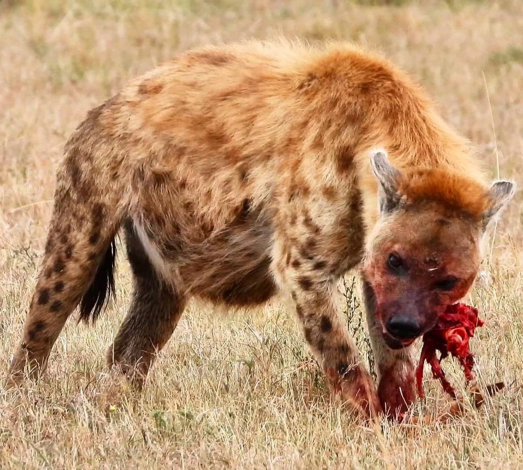 Lunchtime #nowfilming #zebraplainsmoments #zebraplainscollection . . . . . #hyenasofinstagram #instahyena #hyenalaugh #lovehyenas #africanamazing #africanimals #africansafari #ig_africa #igscwildlife #wildlife_perfection #natgeoyourshot #natureismetal #w… https://t.co/tfcmZcanQL https://t.co/PZg7uP6Ncc