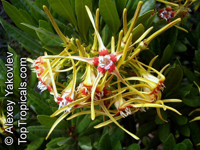 #Strophanthus speciosus - Corkscrew Flower is unusual, very  rare rambling or vining evergreen shrub with clusters of unusual starfish-shaped flowers, sweetly scented.   #rareplants  #fragrantflowers #floweringvines #FridayFeeling
