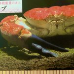 Image for the Tweet beginning: 昨日の深海生物を語っていきます!  世界最重量でウン十万のカニ?! キングクラブです。  オーストラリアで獲れるタスマニアオオガニ ハサミの力が凄まじい!  味は極上でシンガポールなどの高級レストランで1匹20万円前後で提供! #深海生物 #深海 #見たらいいねして #深海生物語り #深海生物の謎