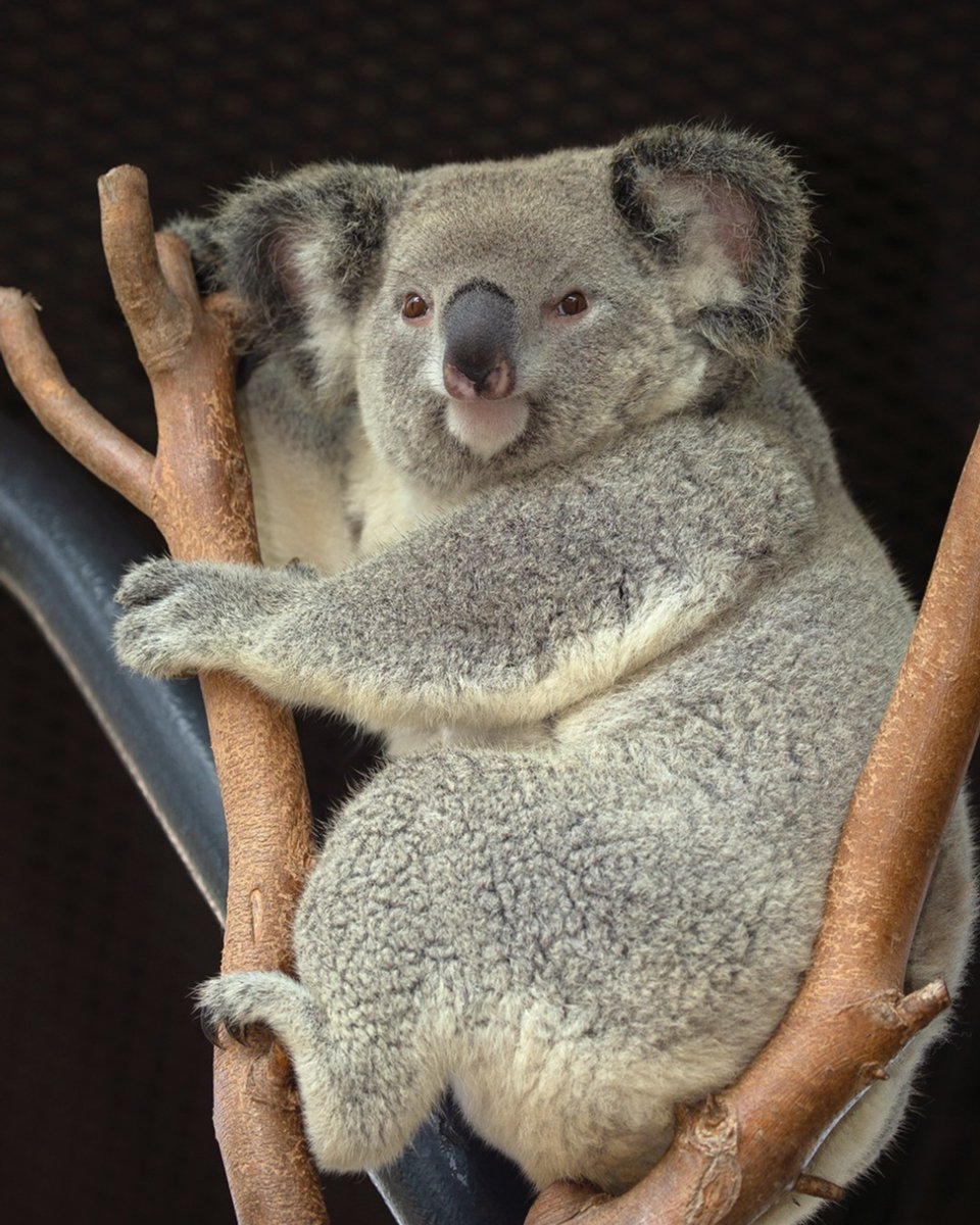 Coolaroo meets all of the koalafications for being adorable. #KoalafiedCutie #SanDiegoZoo https://t.co/jnOz5BPshh