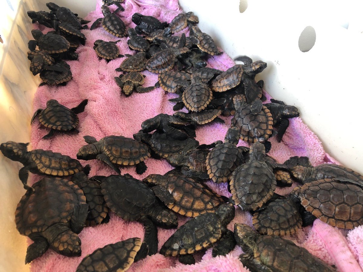 Protecting living marine resources is one of the 11 statutory missions of the #USCG. Station Fort Lauderdale crews worked alongside Gumbo Limbo Nature Center, Inc. to release these precious animals into their natural habitat. #SaveTheTurtles 🐢